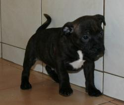 Bebes staffies cda 11