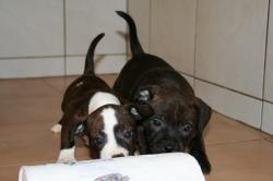Bebes staffies cda 12