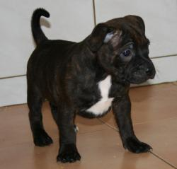 Bebes staffies cda 13