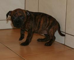 Bebes staffies cda 5