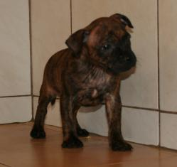 Bebes staffies cda 6
