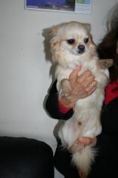 Chihuahua guss 7