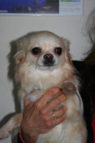 Chihuahua guss 9