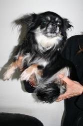 Chihuahua helsa 1