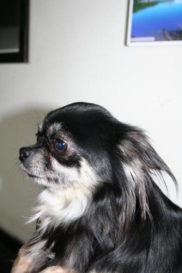 Chihuahua helsa 4