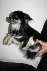 Chihuahua helsa 7